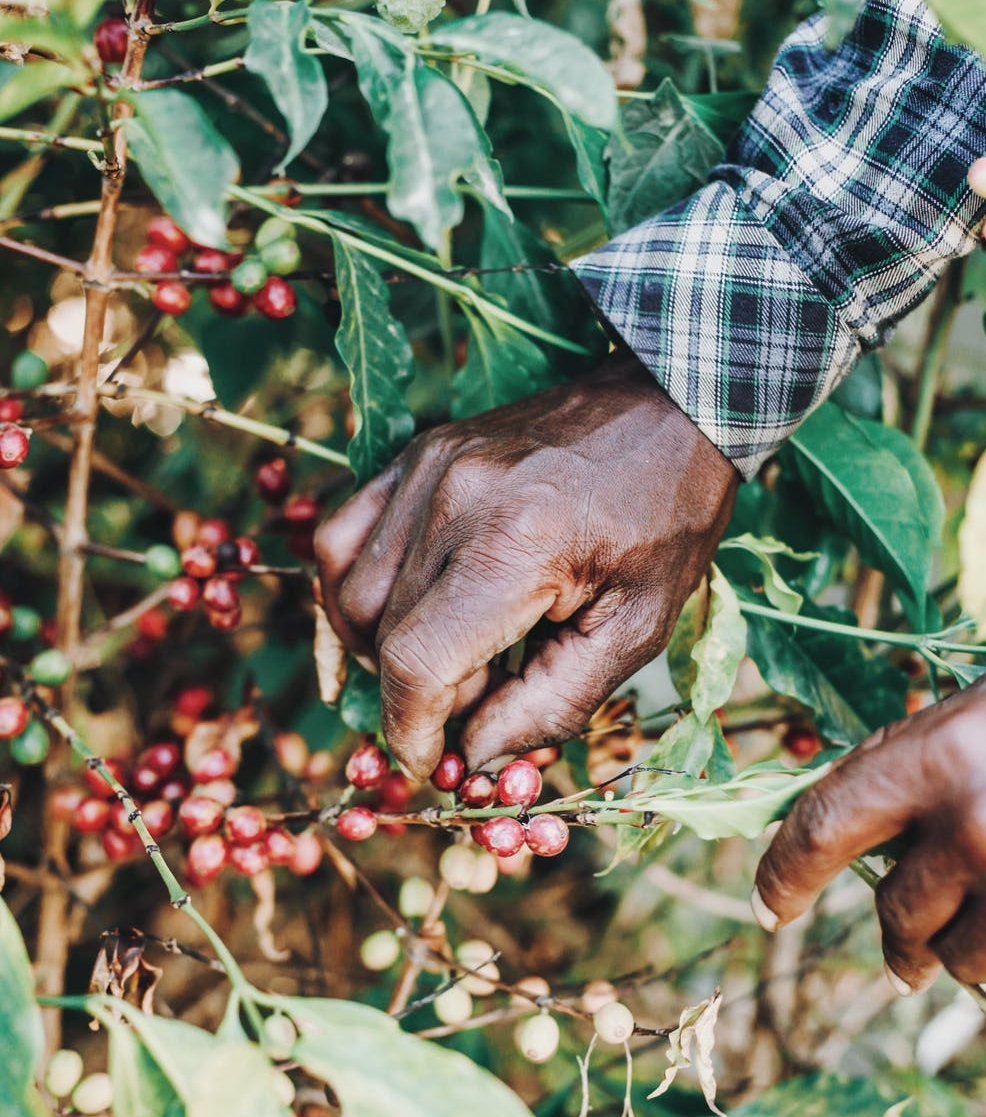 Ethical Coffee Berries - ethical coffee